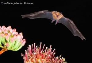 Lesser long-nosed bat and agave